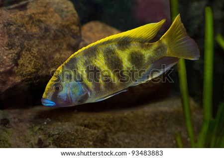 colorful tropical fish from lake malawi - stock photo