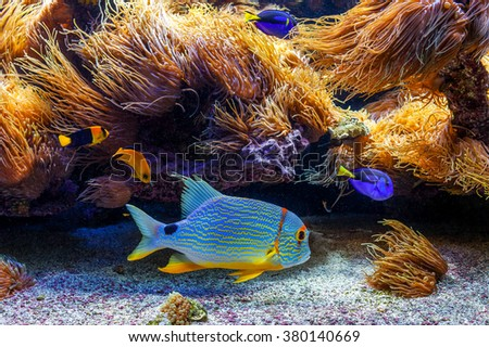 Colorful tropical fish swims among reefs with anemones. - stock photo