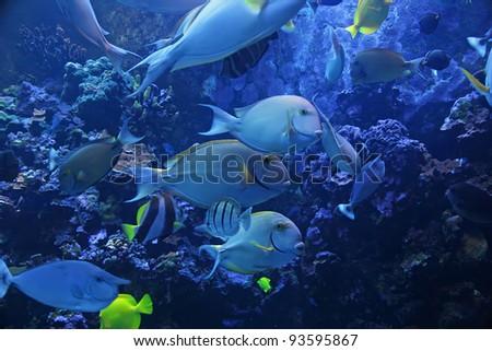 Colorful Tropical Pacific Fish in Aquarium Exhibit - stock photo