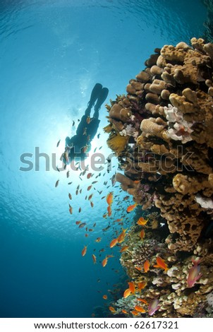 Colorful tropical reef scene buzzing with small fish and scuba diver silhouette against the sun. Thomas reef, Sharm el Sheikh, Red Sea, Egypt. - stock photo