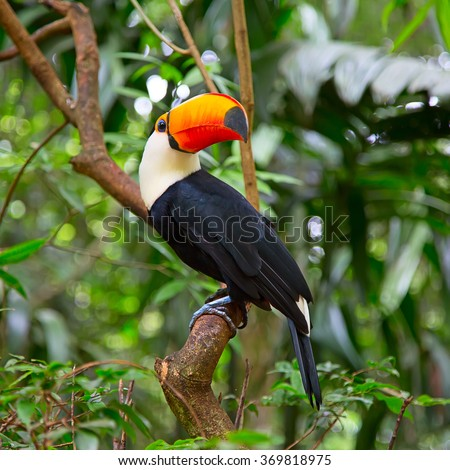 Colorful tucan in the wild - stock photo