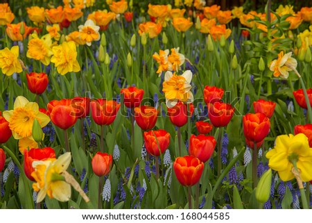 colorful   tulip and daffodil  flowers in Keukenhof garden, Holland - stock photo