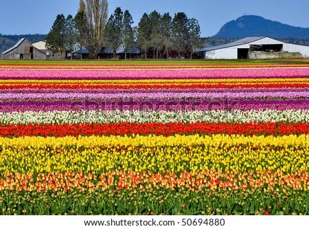 Colorful tulip farm - stock photo