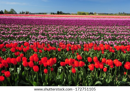 colorful tulip farm in washington with blue sky - stock photo