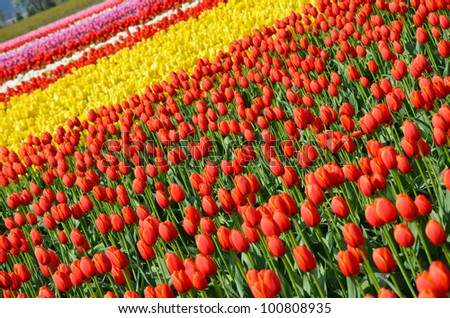 Colorful tulip farm on spring day