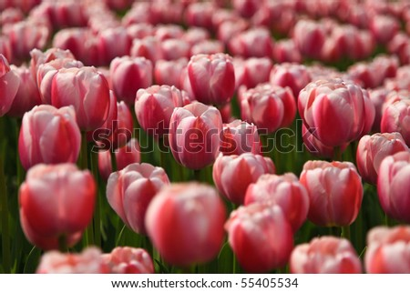 Colorful tulip field taken from South Korea - stock photo