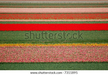 Colorful tulip fields - stock photo