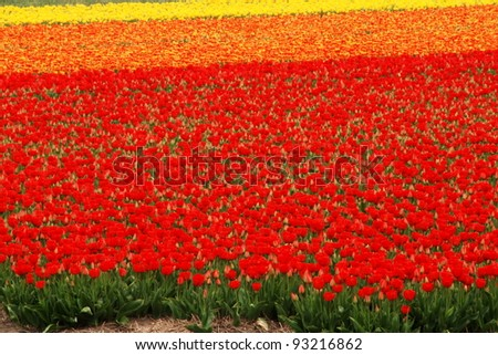 Colorful tulip fields in Holland in the spring - stock photo