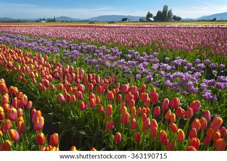 Colorful Tulip Fields. Vibrant color carpets the Skagit Valley during the annual springtime tulip festival near Mt. Vernon, Washington, USA.