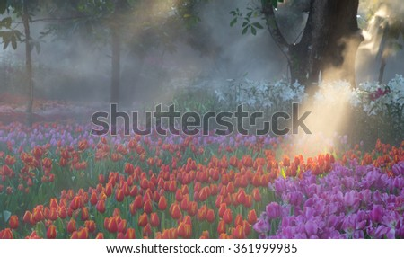 Colorful tulip flower beautiful and beautiful sunlight in season winter at covered with fog thailand. Floral Background. - stock photo