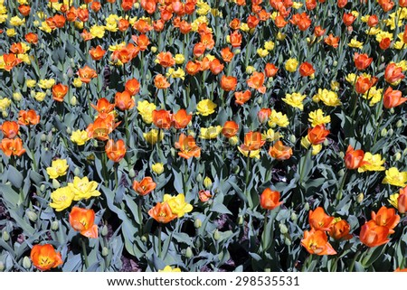 colorful tulip flower bed in the garden in Spring time