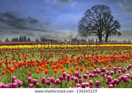 Colorful Tulip Flowers Blooming in Tulips Field at Spring Season One Foggy Morning - stock photo