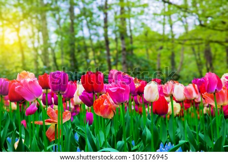 Colorful Tulip Flowers In A Sunny Green Spring Park, Garden