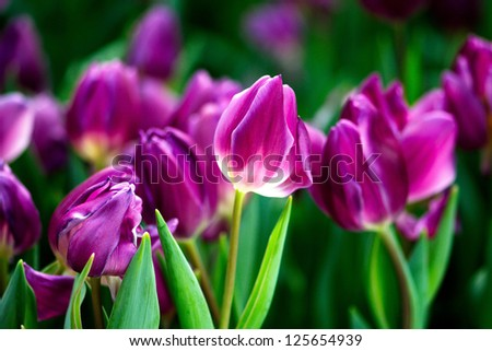 colorful   tulip flowers. outdoors garden