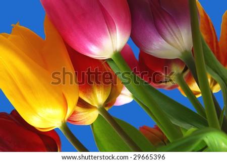 colorful tulip on tone blue background - stock photo
