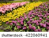 Colorful tulips and narcissus bed at the garden, Netherlands. Selective focus - stock photo
