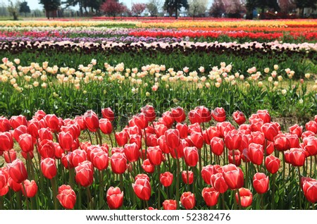 Colorful tulips blooming on the field in Holland