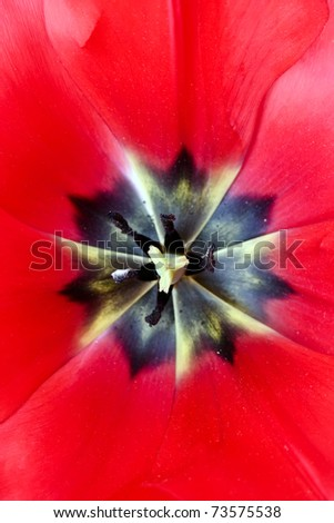 colorful tulips close up - stock photo