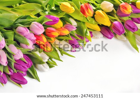 Colorful Tulips Flowers Isolated On White Background - stock photo
