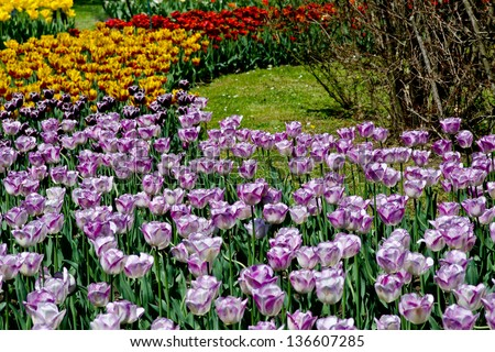 colorful tulips garden