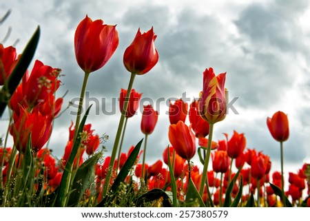 Colorful tulips in a field during spring