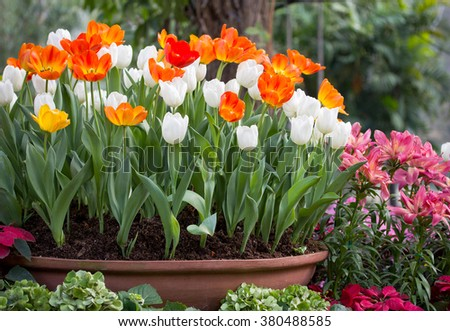 colorful tulips in a flower pot - stock photo