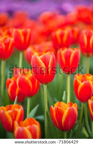 Colorful Tulips in Garden - stock photo