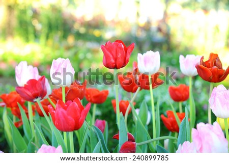 Colorful tulips in garden  (Flowers)