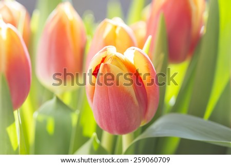 colorful tulips in sunlight - stock photo