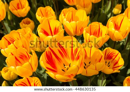 colorful tulips in the annual spring tulip festival in Emirgan Park, Istanbul, Turkey