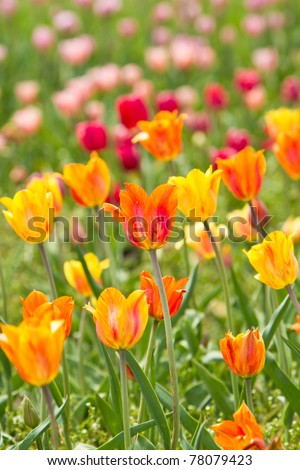 Colorful tulips in the park - stock photo