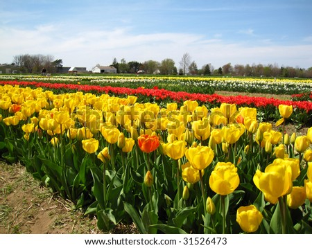 Colorful tulips in the spring in the midwest - stock photo