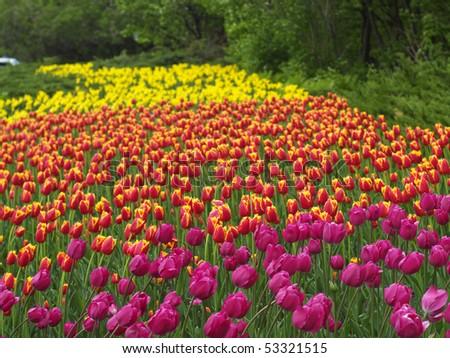 Colorful tulips on Ottawa Tulip Festival - stock photo