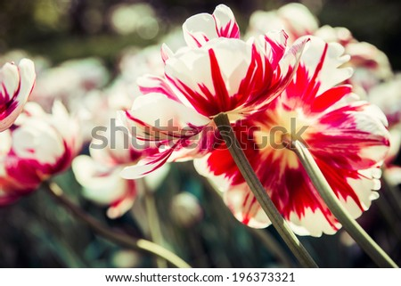 Colorful tulips. Spring  summer concept - stock photo