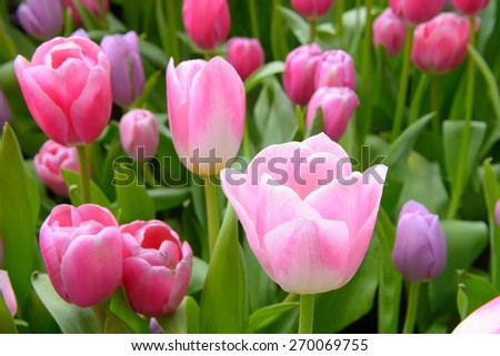 colorful tulips. tulips in spring, colourful tulip - stock photo