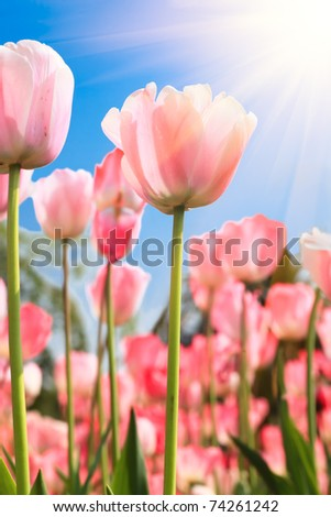 Colorful tulips under sunshine in a park,Location is the hot spring park,fuzhou,China. - stock photo