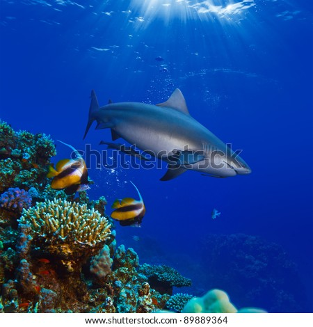 colorful underwater coral reef with yellow stripped fish and big angry hungry shark - stock photo