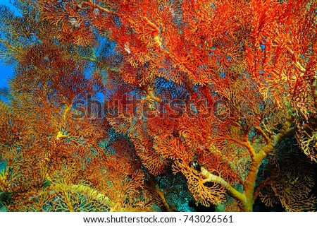 Colorful underwater tropical coral reef. Red and yellow coral on the exotic reef. Scuba diving in the ocean, with underwater wildlife. Colorful sea corals.