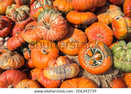 Colorful,variety of pumpkin yard farm ready for carving Jack O Lantern,decoration for October autumn festival as Halloween season