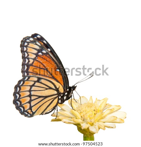 Colorful Viceroy butterfly feeding on a pale yellow Zinnia on white background - stock photo