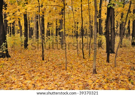 Colorful view of the autumn forest with a lot of yellow leaves on trees and ground