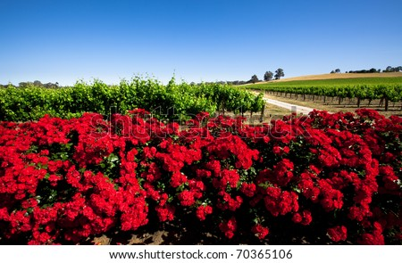 Colorful Vineyard in the Barossa Valley, South Australia - stock photo