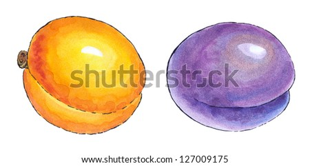 Colorful watercolor painting with a black outline of a series of fruit: apricot and plum - stock photo