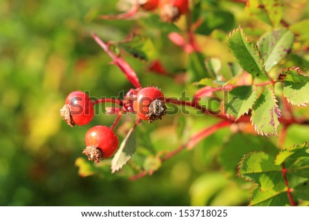 Colorful wild rose hips in autumn, shallow depth of field. Suitable for backgrounds.  - stock photo
