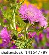Colorful wild thistle flowers with its spiny leaves on natural background of wildflowers - stock photo
