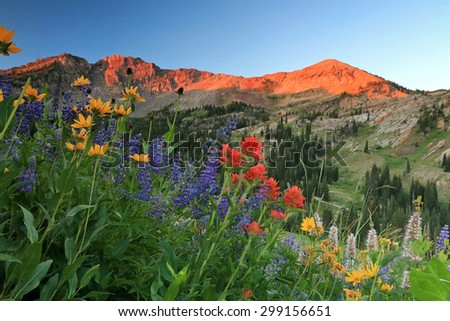 Colorful wildflowers in morning light, Alta, Utah, USA. - stock photo