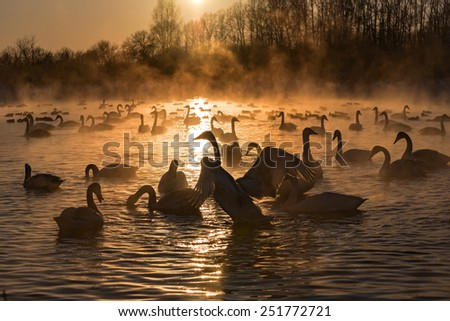 Colorful winter landscape with swans in the mist on the lake at sunset - stock photo