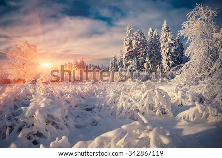 Colorful winter scene in the mountain forest. Fir trees covered fresh snow at frosty morning glowing first sunlight. - stock photo