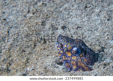 Colorful Wolf fish hiding in its nest  - stock photo