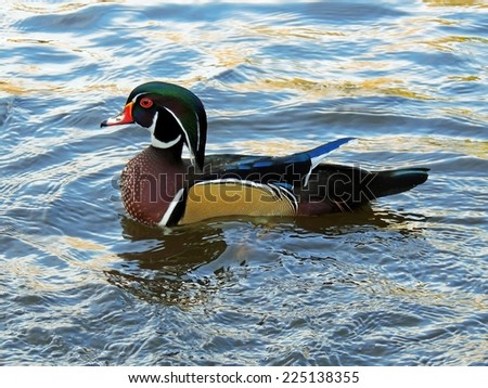 Colorful wood duck drake in Sterne park, Littleton,  Colorado  - stock photo
